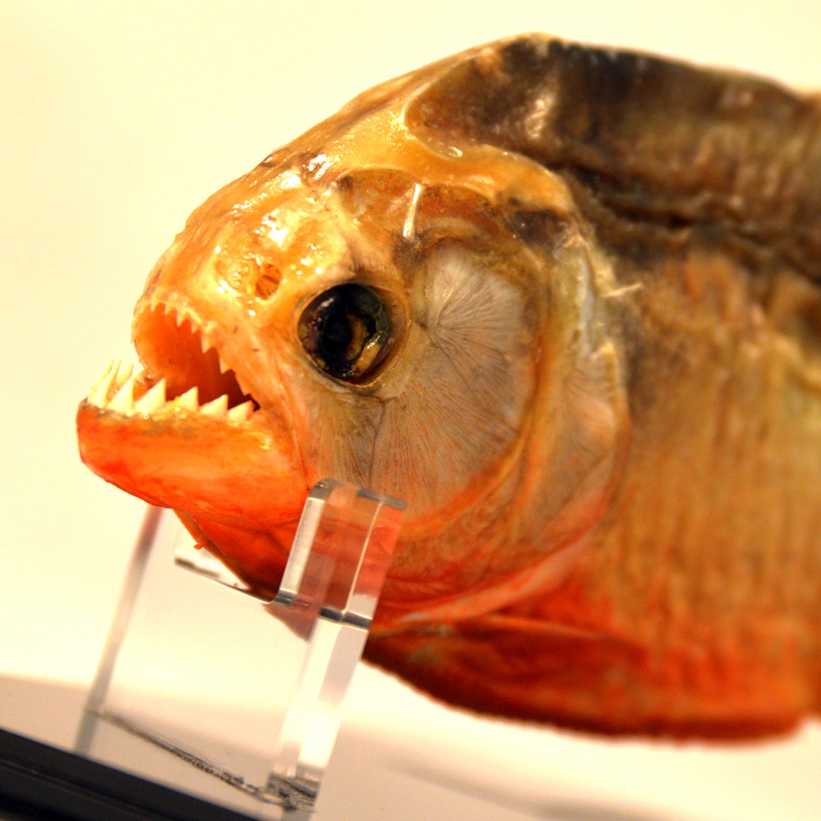RARE-T Exclusive 'HUGE PIRANHA - TAXIDERMY' Museum Display
