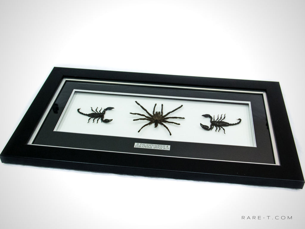 RARE-T Exclusive VIP frame showcases '2 SCORPIONS & 1 TARANTULA under glass to allow you to fully appreciate this piece of collectible art