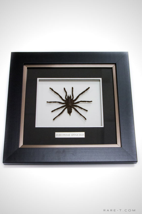RARE-T Exclusive | AUTHENTIC TARANTULA/EURYPEIME SPINICRUS Frame