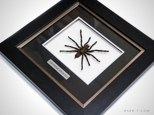 RARE-T Exclusive | AUTHENTIC TARANTULA/EURYPEIME SPINICRUS product image