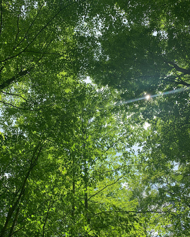 Image of a canopy of green, leafy trees with blue sky and sunshine peeking through.