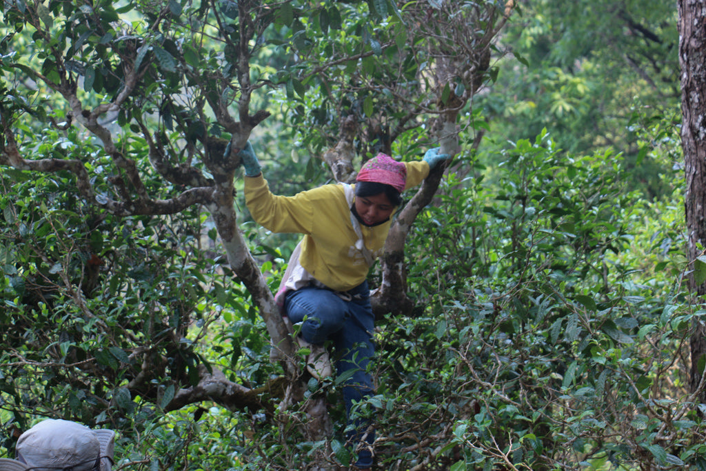 tea picker climbing a tree