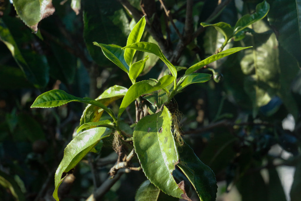 tea leaf lack of nutrients