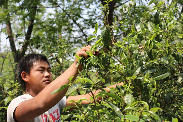 tea picker at work in jingmai mountain