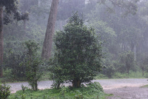 ancient tea tree under heavy rain on top of Jingmai mountain
