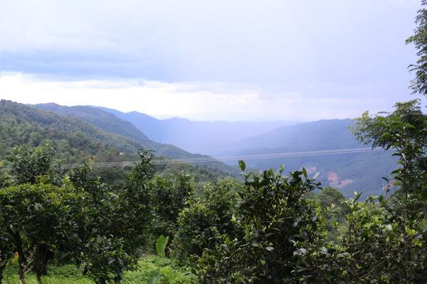 ancient tea gardens of jingmai mountain in the open