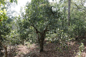ancient tea tree under the shade of the forested tea gardens