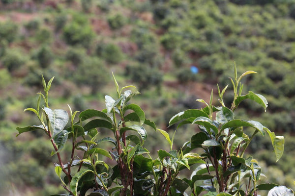 tea buds and jingmai tea plantations