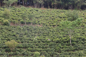 natural tea gardens in Jingmai mountain