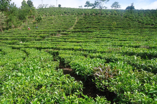 tea plantation with picking table