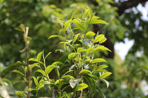 sprouting tea tree with tender buds