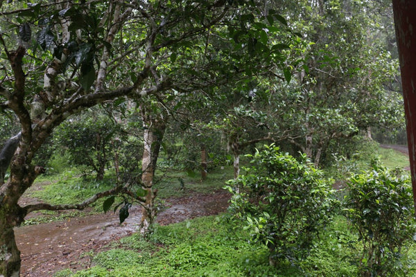 ancient tea trees under the rain