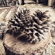 SD16 Giant Pinecones