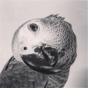 SD22 African Grey Parrot