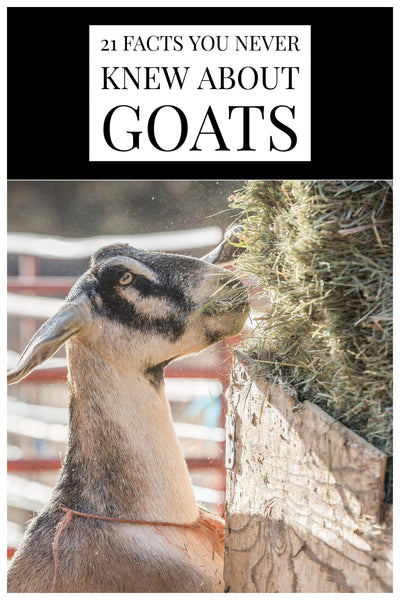 21 Facts You Never Knew About Goats - Bend Soap Company