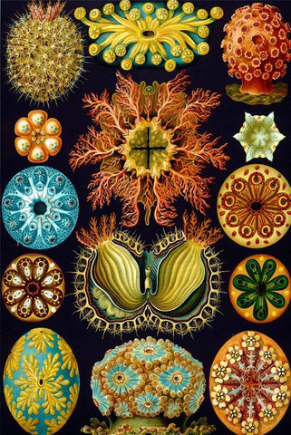 Ascidiae by Ernst Haeckel - Peaceful Wooden Puzzles