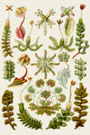 Hepaticae by Ernst Haeckel - Wooden Jigsaw Puzzles for Adults
