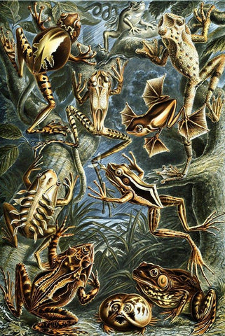 Batrachia by Ernst Haeckel - Wooden Jigsaw Puzzles for Adults