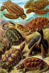 Chelonia by Ernst Haeckel - Peaceful Wooden Jigsaw Puzzles