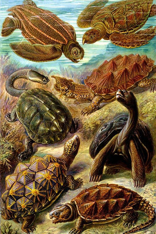 Chelonia by Ernst Haeckel - Wooden Jigsaw Puzzles for Adults