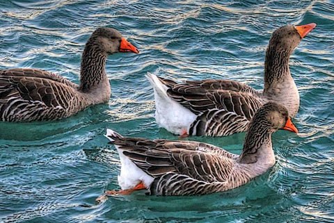 Gray Geese Swimming - Peaceful Wooden Jigsaw Puzzles