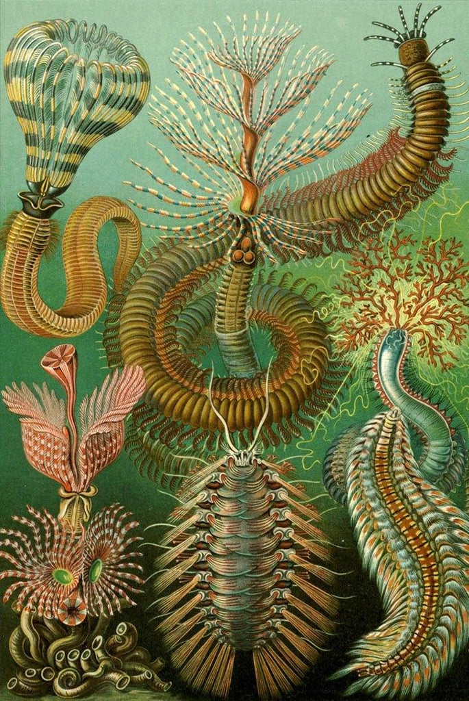 Chaetopoda by Ernst Haeckel - Peaceful Wooden Puzzles