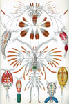 Crustaceans by Ernst Haeckel - Peaceful Wooden Jigsaw Puzzles
