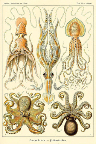 Octopus Squid by Ernst Haeckel - Wooden Jigsaw Puzzles for Adults