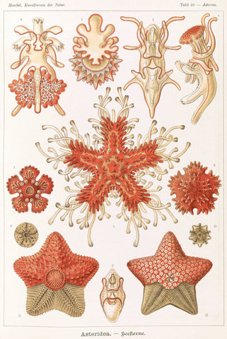 Starfish by Ernst Haeckel - Peaceful Wooden Jigsaw Puzzles