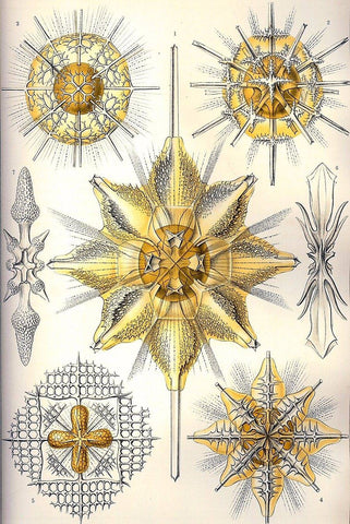 Acanthrometra by Ernst Haeckel - Wooden Jigsaw Puzzles for Adults