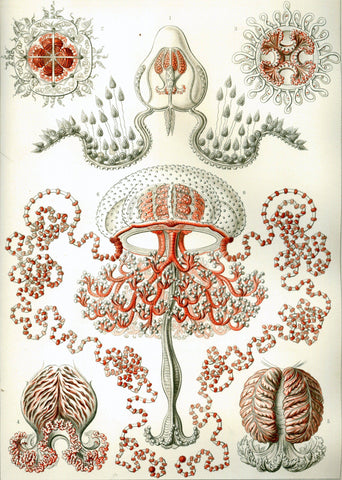 Anthomedusae by Ernst Haeckel - Peaceful Wooden Jigsaw Puzzles