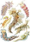 Nudibranchia by Ernst Haeckel - Peaceful Wooden Jigsaw Puzzles