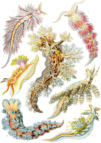 Nudibranchia by Ernst Haeckel - Wooden Jigsaw Puzzles for Adults