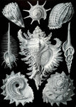 Prosobranchia by Ernst Haeckel - Wooden Jigsaw Puzzles for Adults