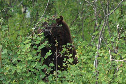 Bears in Glacier National Park