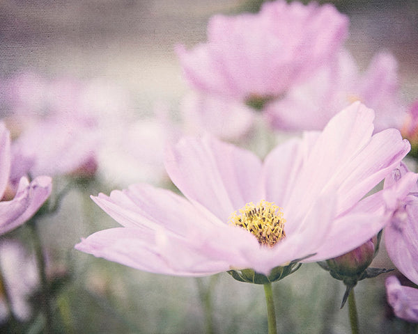 Cosmos - Purple Flower Photo for Girls Room