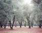 Flourishing Olive Trees - Rustic Farmhouse Landscape Photo
