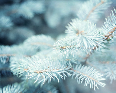 Frost Bite - Wintry Blue Pine Bough Photo for your Rustic Home Decor