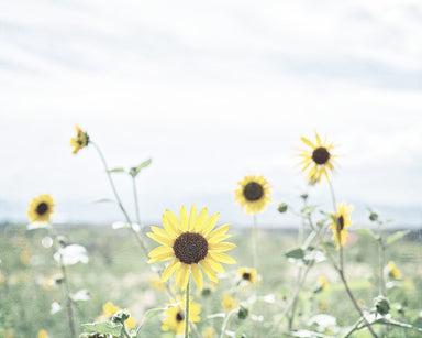 Helianthus - Soft Sunflower Photo for your Farmhouse Decor