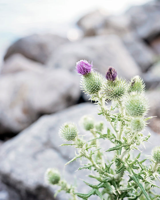 Lakeside Thistles - Rustic Flower Photography