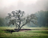 Lone Oak - Rustic Green Landscape Photography