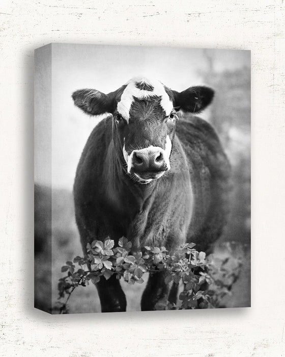 Miss Dottie - Cow Photography