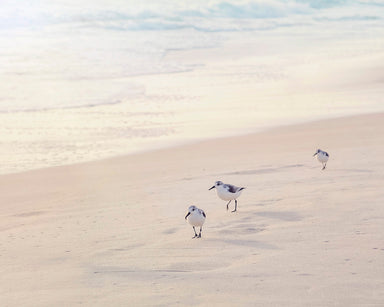 Pied Pipers - Bird Photography for your Beach Decor