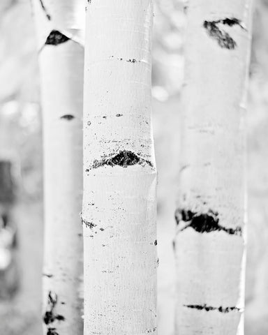 Trunks - Black and White Photography