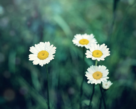 Wild Daisies - Nature Photo for your Country Decor