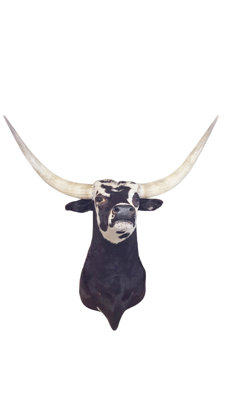 Longhorn Bull - aptiques by Authentic PreOwned