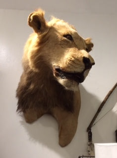Lion Head Taxidermy - aptiques by Authentic PreOwned