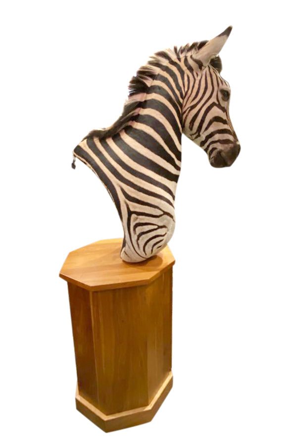 Zebra Taxidermy - aptiques by Authentic PreOwned