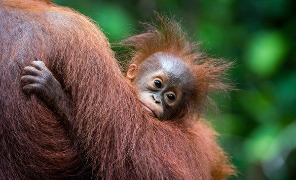 Rescuing our endangered orangutans: Orangutan Foundation International