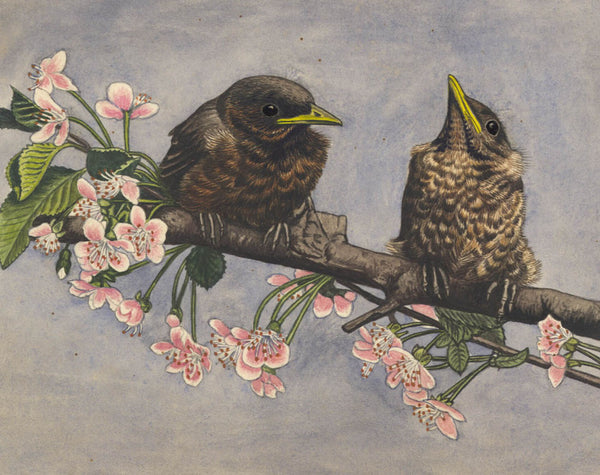 A. E. Twinning - Young Blackbirds, Original Mid 20th Century Watercolour